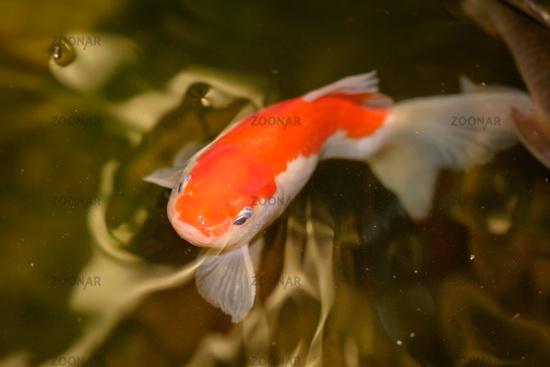 Goldfisch im Teich