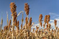 sorghum field in Kansas