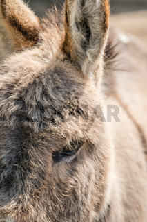 Large furry donkey face closeup