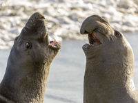 Northern Elephant Seal Adult Males Fighting for Dominance.