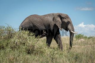 African elephant walks behind bush in savannah