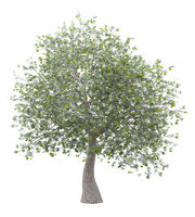 olive tree with olives isolated on white background. 3d illustration