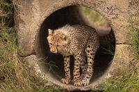 Cheetah cub standing at entrance to pipe