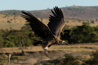 African white-backed vulture coming in to land