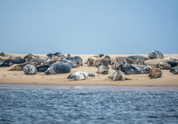 Colony Of Harbor Seals