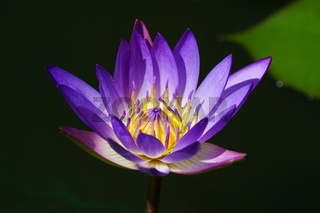 Water Lily Panama Pacific