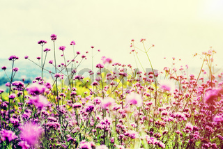 Vintage style Verbena Bonariensis flower field