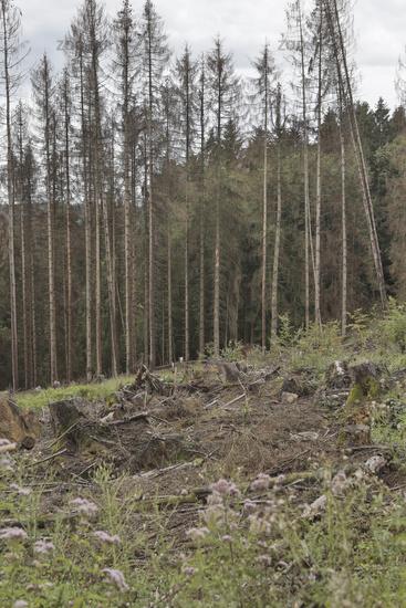 Fichtensterben, Waldsterben, Spruce dieback, forest dying
