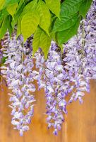 Purple wisteria flower