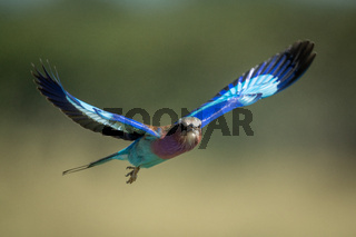 Lilac-breasted roller in flight with bokeh background