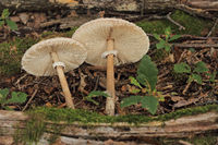 Gemeiner Riesenschirmling (Macrolepiota procera)