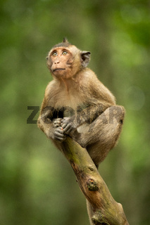Baby long-tailed macaque looking up on branch