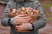 Collecting walnuts in a basket