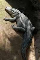 Huge adult crocodile vertical image