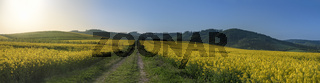 Country road in yellow rapeseed fields