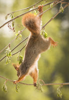 red squirrel is climbing up side down