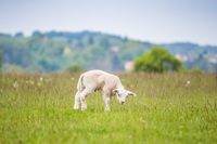 Newborn lamb in lush green meadow in Spring Time.