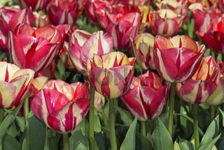 Tulpenblüten (Tulipa Spryng Break), Bollenstreek, Niederlande