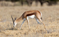 Springbok antelope (Antidorcas marsupialis) in it's natural habitat