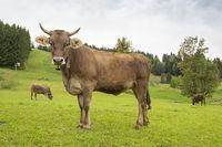 Allgäu-Kühe auf der Weide