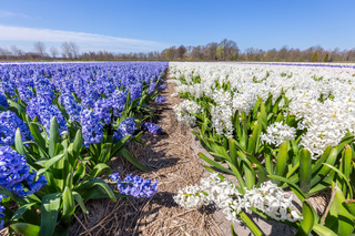 Landscape with rows of blooming hyacinth flowers in Holland