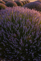 Sunset Over Violet Lavender Field in Turkey