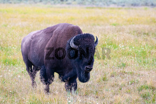 The bison in Yellowstone National Park, Wyoming. USA.