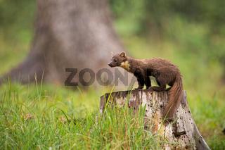European pine marten, martes martes, standing on a stump in forest in rain.