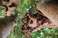 big fig tree rich fruit