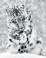 Snow Leopard in Snow Storm IV BW