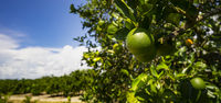 Ripe Lime on the Tree Deep South Agriculture Fruit Orchard