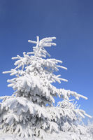 Snow covered fir tree in winter