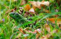 Green Sand lizard hiding in the grass