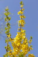 Blühende Forsythie (Forsythia)