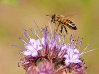 Biene an einer  Phacelia