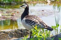 Closeup of a barnacle goose
