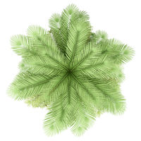 coconut palm tree isolated on white background. top view