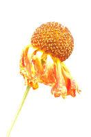 Sonnenbraut (Helenium)