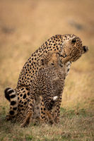 Cheetah sitting and nuzzling cub on grass