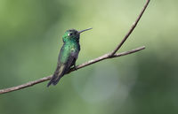 Cuban emerald male who sits on a branch in the shade of bushes on a sunny day