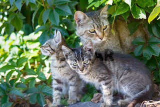 Cat and kittens ordinary breeds