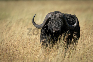 Cape buffalo in long grass facing camera