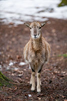 European mouflon in the German forest