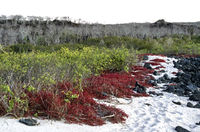 Küstenvegetation mit rotem Carpetweed, Insel Floreana, Galapagos Inseln, Ecuador