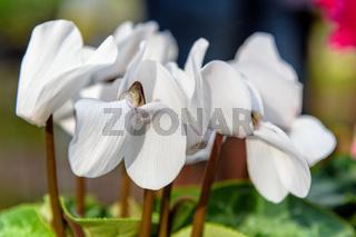 White  Cyclamen flower