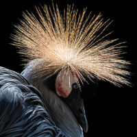West African Crowned Crane IV