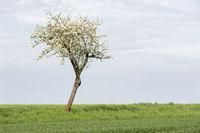 Baum mit frischen Grün im Frühling, Deutschland