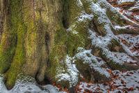 Rotbuche (Fagus sylvatica)