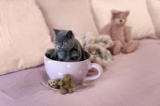 British Short Hair Kitten Sitting In A Tea Cup