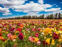 The flowering garden buttercups